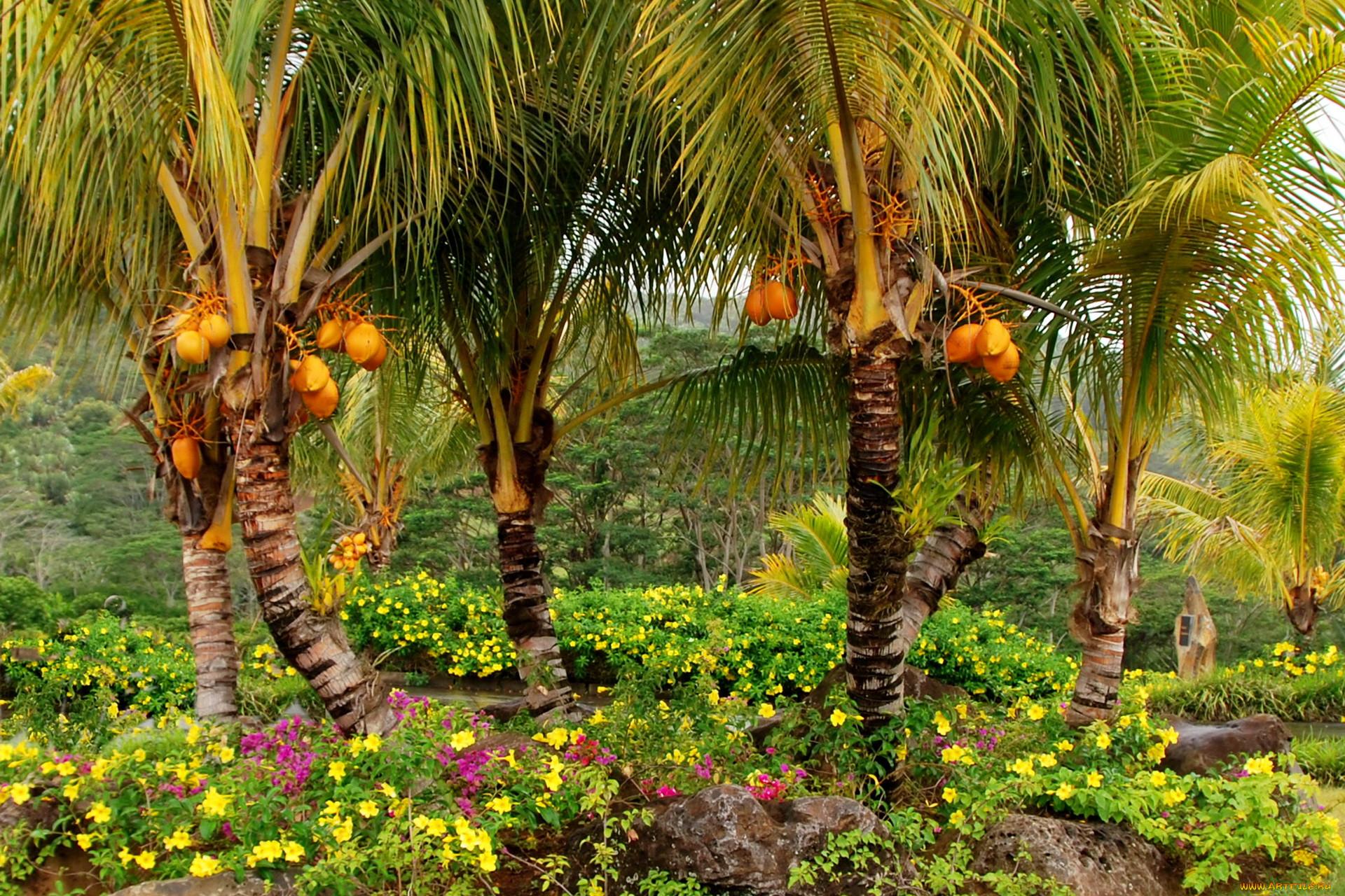 маврикий, шамарель, кокосовый, сад, природа, парк